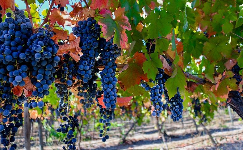 Weinreben in Chile