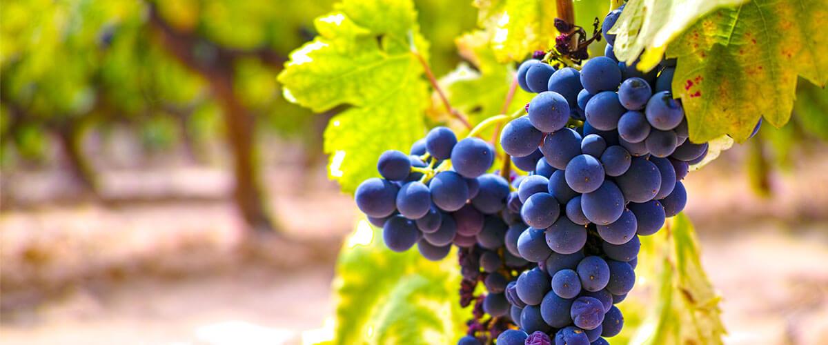 Weintrauben Syrah/Shiraz Wein