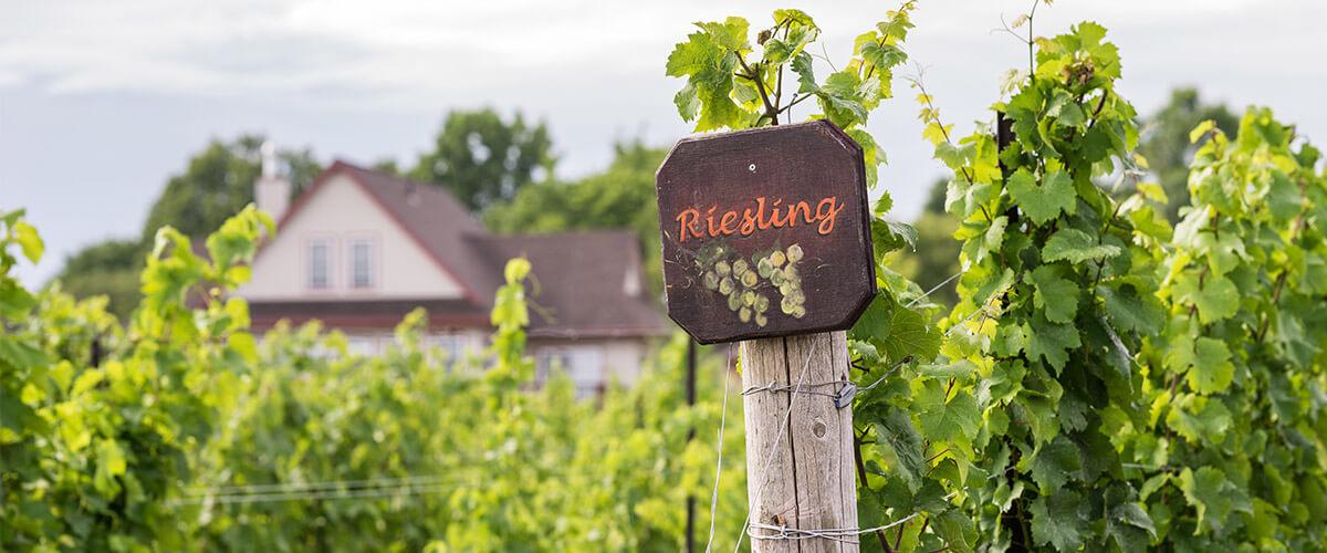 riesling-wein-anbau
