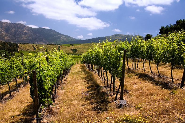 Reben Wein Chile