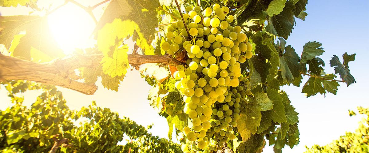 Weintrauben Chardonnay Wein