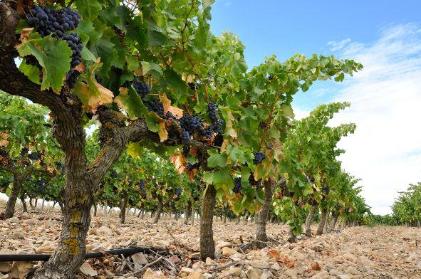 Wein Spanien Rebsorten