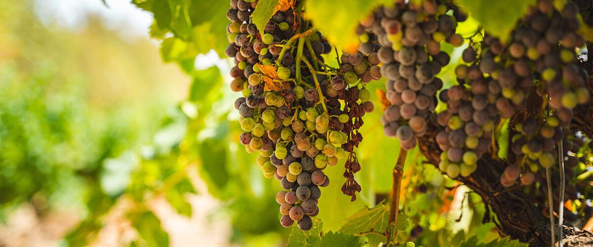Primitivo Wein Trauben