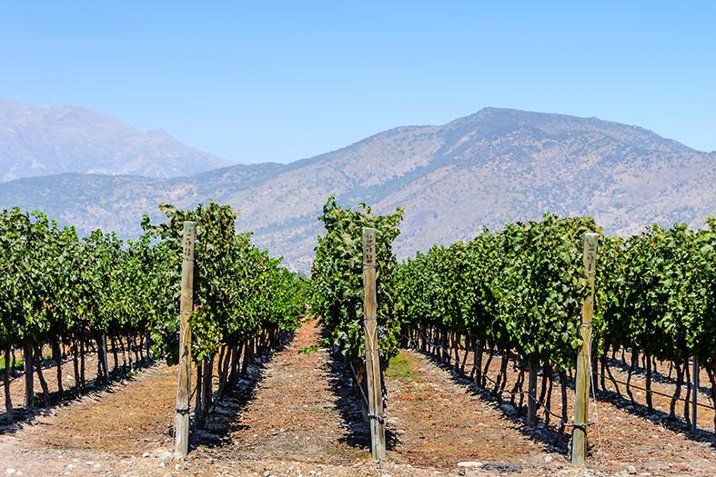 Chile Wein Rebstöcke